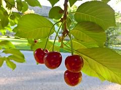 WP_20170609_06_19_06_Pro (vale 83) Tags: cherries microsoft lumia 550 friends macrodreams wpphoto wearejuxt rotrossorougerood coloursplosion colourartaward beautifulexpression flickrcolour encarnado