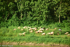 The Sheep Herder. (abrarhayat) Tags: rural rurallife sheep sheepherder herder nature naturephotography peaceful peace serene serenity streetphotography bangladesh green beautiful