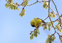 American Goldfinch -- Male (Carduelis tristis); Denver Audubon Nature Center, Waterton, CO [Lou Feltz] (deserttoad) Tags: bird wildbird wildlife nature outdoors behavior songbird colorado goldfinch tree seeds