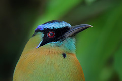 Lesson's Motmot (Greg Lavaty Photography) Tags: lessonsmotmot momotuslessionii costarica march bird nature wildlife motmot bluecrowned monteverde outdoors neotropical tropical photographytrip portrait