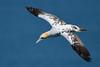 Fly by....... (klythawk) Tags: gannet morusbassanus seabird inflight nature spring wildlife blue yellow brown white nikon d500 sigma 150600mmc bemptoncliffs rspb eastriding yorkshire klythawk