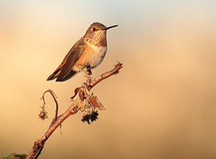 Sunset Hummer (Eric_Z) Tags: rufoushummingbird female hummingbird coquitlam britishcolumbia canada canoneos7dmkii