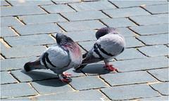 Shy (Hindrik S) Tags: shy bleu ferlegen verlegen kop head kopf duiven pigeon dove do postdo postduif straatduif strjitdo street straat strjitte bird birds fûgel vogel vogl oiseau two social nature natuur natuer sonyphotographing sony sonyalpha tamronaf16300mmf3563dillvcpzdmacrob016 tamron 16300 2017 streetphoto amount strasenfotografie strase