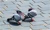 Shy (Hindrik S) Tags: shy bleu ferlegen verlegen kop head kopf duiven pigeon dove do postdo postduif straatduif strjitdo street straat strjitte bird birds fûgel vogel vogl oiseau two social nature natuur natuer sonyphotographing sony sonyalpha tamronaf16300mmf3563dillvcpzdmacrob016 tamron 16300 2017 streetphoto amount