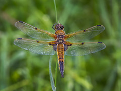 Four Spotted Chaser (Paul West ( pwest.me )) Tags: nature countryside riverside insect brockholes dragonfly fourspottedchaser