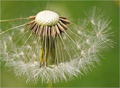 Dandelion... (Everest Daniel) Tags: dandelion flower garden summer green sonya58