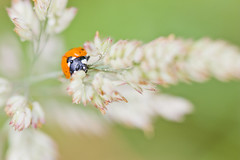 NAW-7943 (Nawred85) Tags: animaux coccinelle colépotères insectes lagarnache localisation nature printemps saison sauvages