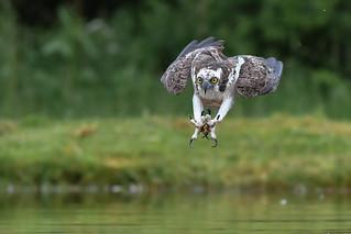 Osprey. Aviemore