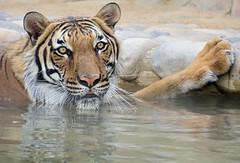 Cooling Off (greekgal.esm) Tags: malayantiger tiger jango bigcat cat feline animal mammal carnivore efbc exoticfelinebreedingcompound felineconservationcenter wildcatzoo rosamond kerncounty antelopevalley california sony rx10m3 rx10iii