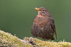 Blackbird, Turdus merula (Kevin B Agar) Tags: blackbird britishbirds hawkswickcote littondale thedales turdusmerula
