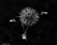 Dandelion Top (that_damn_duck) Tags: blackandwhite monochrome blackbackground macro nature plant buds dandelion bw blackwhite