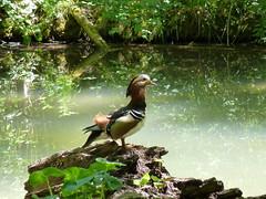Mandarin-Ente im Englischen Garten München (Proteus_XYZ) Tags: deutschland bayern münchen englischergarten mandarinente