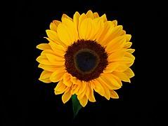 Sunflower shot from above #flickrfriday #shotfromabove (John Hill Millar) Tags: flickrfriday shotfromabove shot above flower sunflower yellow black blackandyellow blackyellow low key lowkey sun panasonic lumix panasoniclumixgx80 panasoniclumixdmcgx80 dmcgx80 gx80 gx gx85