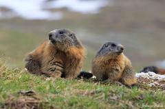 Siamo la coppia più bella del mondo.... (silvano fabris) Tags: photonature nature animali animals marmotte marmot