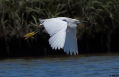 "Snowy Egret (""DEB"") Tags: snowyegret yellowslippers inflight oldlyme ctbird wadingbird shorebird marsh shore ocean white d500 nikon200500mm"