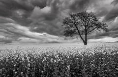 Gainford Monochrome Rapeseed Field. (Mike Atkinson Photography) Tags: ruby10 ruby15 ruby20