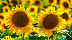 Girasoli al tramonto (BORGHY52) Tags: girasoli girasole campodigirasoli fioridicampo fiori giallo estate luglio yellow