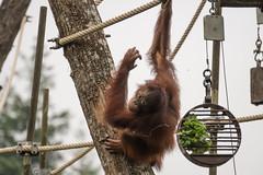 DSC00545 (sylviagreve) Tags: 2017 apenheul orangutan apeldoorn gelderland netherlands nl