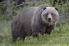 Oso Grizzly (Grizzly Bear) - Kananaskis Country - Canada (Gaston Maqueda) Tags: bear oso grizzly canada banff canmore kananaskis wild salvaje wildlife animales mamiferos fauna nature naturaleza