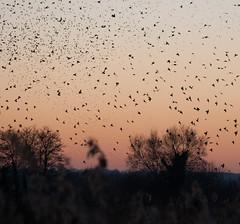 Murmuration-7 (Odd Wellies) Tags: hamwall murmuration starlings