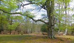 New Forest NP, Hampshire, England (east med wanderer) Tags: england hampshire newforest nationalpark forest woodland beech oak holly beechanlane lyndhurst uk