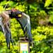 Female Bateleur, Getty in Flight : ダルマワシ、ゲティの飛翔
