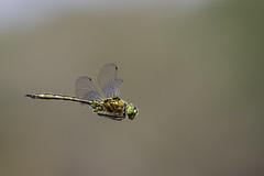 Brilliant Emeral Dragonfly (PINNACLE PHOTO) Tags: dragonfly emerald brilliant inflight flying green dragon shiny rare winged insect bug beautiful hover july thursley surrey canon martinbillard