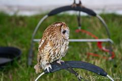 DSC_9536 (fjaphotography.co.uk) Tags: birds birdsofprrey daresbury steam england unitedkingdom gb