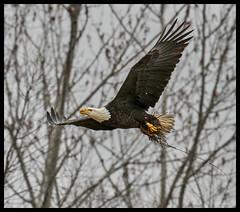 Eagle in Flight at Eagle Bluffs Conservation Area - No 3 (Nikon66) Tags: baldeagle eagle eaglebluffsconservationarea columbia boonecounty missouri nikon d800 600mmnikkor