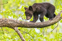 Black Bear Balance (Glatz Nature Photography) Tags: minnesota nature nikond5 northamerica northwoods northernminnesota vinceshutewildlifesanctuary wildanimal wildlife blackbear ursusamericanus babyanimal springcub bearcub bear cub