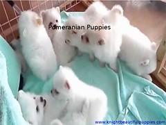 Pomeranian puppies in USA (knightbeautifulpuppies) Tags: yorkshireterrier chihuahuapuppies labradorretrieverpuppies frenchbulldogpuppies kitspuppies germanshepherdpuppies americanpitbullterrier pomeranianpuppies huskypomeranian chinesesharpei germanshepherddog labradorretriever