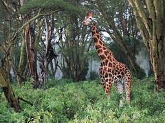 Safari (imanolg) Tags: kenia africa jirafa safari