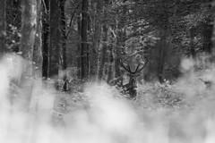 Chalemagne en N&B (Eric Penet) Tags: mormal mammifère wildlife wild france faune forêt locquignol animal sauvage avesnois forest été juillet summer mammal cerf cervidé deer stag cerfelaphe cerfélaphe cervus élaphe elaphus mâle