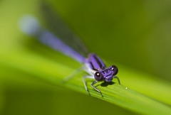 (amy20079) Tags: newengland maine damselfly macro bug insect outdoors grass naturallight bokeh depthoffield shallowdepthoffield violetdancer