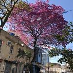 O ipê-rosa, São Paulo (winter), Brazil. thumbnail