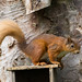 Red Squirrel - #3