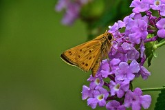 Fiery Skipper on Lantana (deanrr) Tags: butterfly nature outdoor morgancountyalabama alabama fieryskipper butterflyonflower backyardbutterfly summer 2017