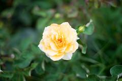 yellow flower (Arbit Bamboo0101) Tags: rose omzuiko color asia cute flower flora sony flowers zuiko holiday light a7ii a72 sonyalpha yellow happy beautiful love digital garden colours pretty park green osaka japan alpha72