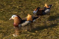Mandarinönd/mandarin duck (lilja gudmundsd.) Tags: mandarinduck mandarinönd húsavík ísland iceland northiceland liljagudmundsdottir