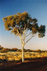Ghost Gum (Dulacca.trains) Tags: ghostgum tree gumtree barrowcreek northernterritory nt australia australian aussie oz outback remote arid dry stuarthighway
