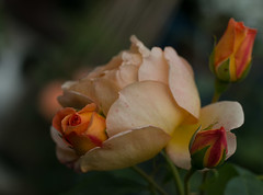 Pretty buds (Deborah S-C - In The Fairy Garden! - Poorly :-() Tags: flower flowers flora floral summer summertime sunshine rose roses rosa buds rosebuds apricot orange petals