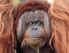 borneo orangutan Kevin Apenheul BB2A7155 (j.a.kok) Tags: orangutan orangoetan borneoorangutan borneoorangoetan asia azie mammal monkey mensaap primate primaat zoogdier dier animal kevin ape aap apenheul borneo