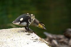 Go on jump it's not that far. (Mallard duckling) (georgehart64) Tags: scotland aberdeen aberdeenshire duckling duck mallard walkerdam ef100400mm f4556l is ii usm canon canon70d