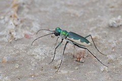 Cream-edged Tiger Beetle (Lepphotos) Tags: kansas staffordcounty quiviranwr na6464ar explore
