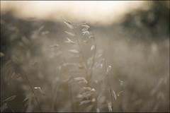 y ahora se que estoy en un mundo de cristal (jotaaguilera) Tags: nikon d610 nikkor 105mmf2ddc avena verano summer gold golden light luz blur blurry bokeh dorado