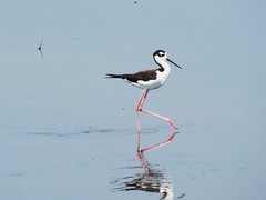 Black-necked Stilt (Himantopus mexicanus) (Michael Rosengarten) Tags: birds stilts shorebirds