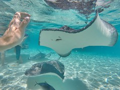 Stingray City (bencvengros) Tags: animal wild nature wildlife caribbean sea snorkeling snorkel dive ocean swim fish tropical island caymanislands grandcayman bencvengros city stingray