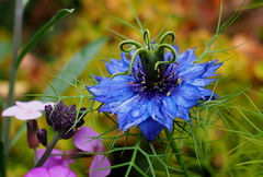 cornflower blue (chris p-w) Tags: garden blue cornflower flower flickrsfantasticflowers