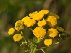 Rainfarn (Arnd Gräfe) Tags: gelb rainfarn wurmkraut blüte blume tansy yellow natur tanacetumvulgare