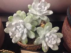Dudleya pachyphytum (Reggie1) Tags: succulent dudleya dudleyapachyphytum